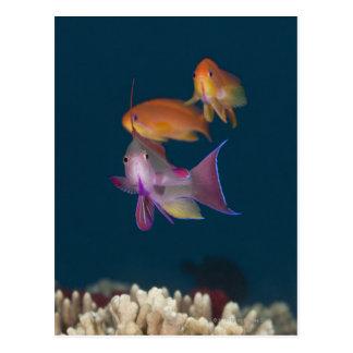 Kleurrijke tropische Anthias, het OnderwaterLeven Briefkaart