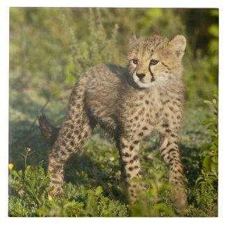 L'Afrique. La Tanzanie. Petit animal de guépard ch Grand Carreau Carré