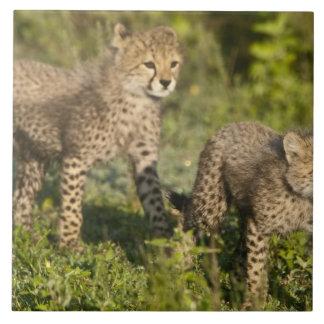 L'Afrique. La Tanzanie. Petits animaux de guépard  Grand Carreau Carré