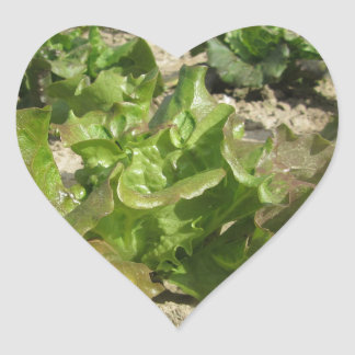 Laitue fraîche dans le terrain sticker cœur