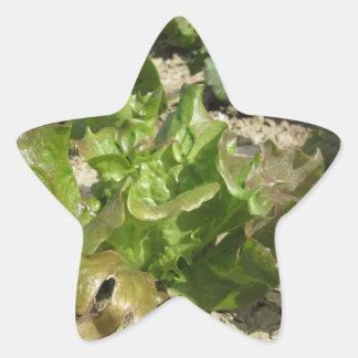Laitue fraîche dans le terrain sticker étoile