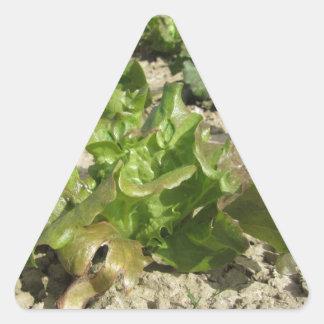 Laitue fraîche dans le terrain sticker triangulaire