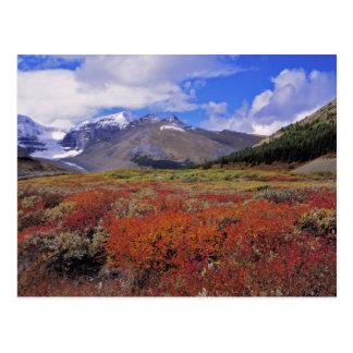 Le Canada, Alberta, Banff NP. Fleur d'airelles Carte Postale