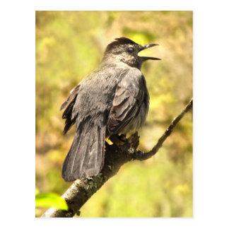 Le Catbird gris chante sa carte postale de chanson