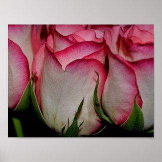 Le rose a affilé les roses blancs