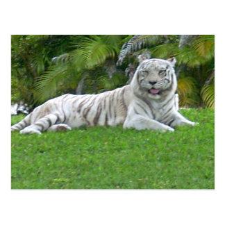 Le tigre blanc carte postale