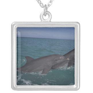 Les Caraïbe, Tursiops 2 de dauphins de Bottlenose Collier