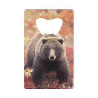 Les Etats-Unis, Alaska, Denali NP, ours gris