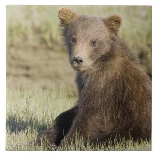 LES Etats-Unis. L'Alaska. Petit animal d'ours côti Grand Carreau Carré