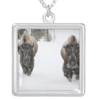 Les Etats-Unis, WY, Yellowstone NP, bison Collier