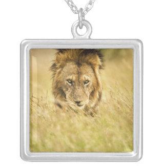 Lion de mâle adulte, Panthera Lion, masai Mara, Collier