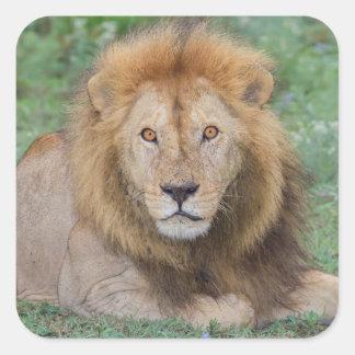 Lion masculin se couchant sticker carré