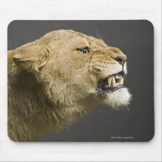 Lionne hurlant 2 tapis de souris
