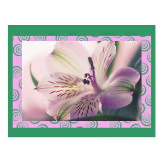 Lis péruvien, magenta, macro floral, modèle carte postale