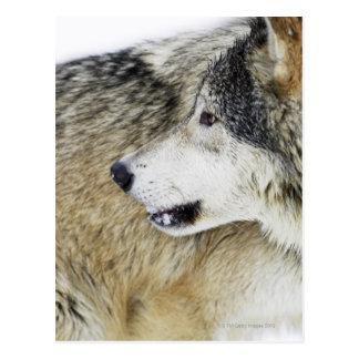 Loup Cartes Postales