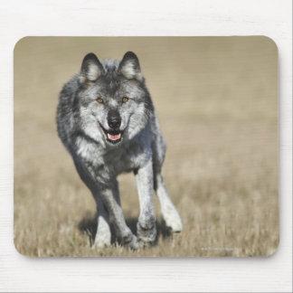 Loup (lupus de Canis) fonctionnant vers Tapis De Souris
