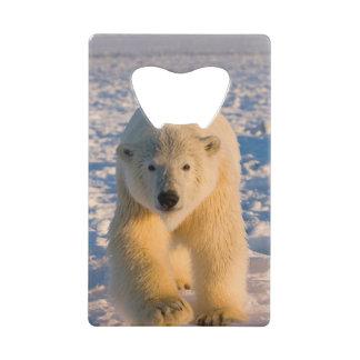 l'ours blanc, maritimus d'Ursus, polaire