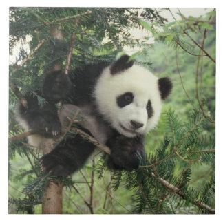 L'petit animal de panda géant grimpe à un arbre, v grand carreau carré