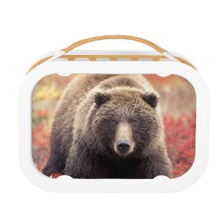Lunch Box Les Etats-Unis, Alaska, Denali NP, ours gris fémin
