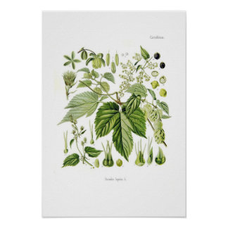 Lupulus de Humulus (houblon)