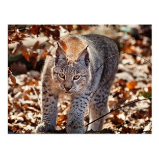 Lynx sauvage cartes postales