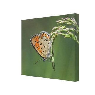 Macro copie de toile de papillon - sénateur