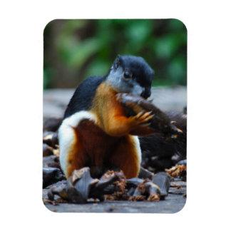 Magnet Flexible Écureuil dans la jungle du Bornéo