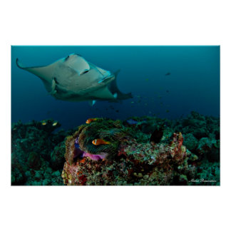 Mantarays over anemoon - Poster