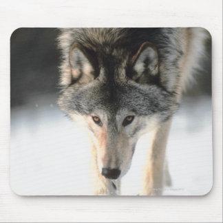 Marche de loup gris tapis de souris