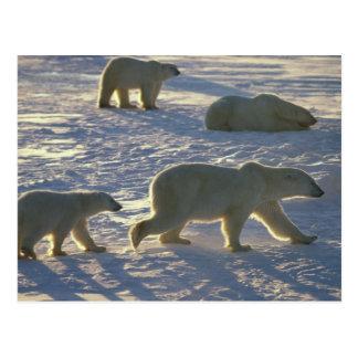 Maritimus d'Ursus d'ours blancs) deux femelles, Carte Postale