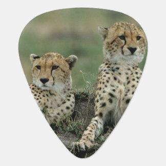 Médiators L'Afrique, Kenya, guépards