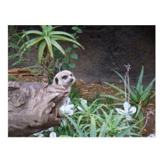 Meerkat Carte Postale