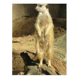 Meerkat curieux carte postale
