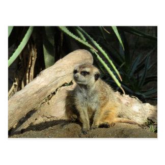 meerkat de chillin cartes postales