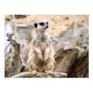 Meerkat se tenant grand carte postale