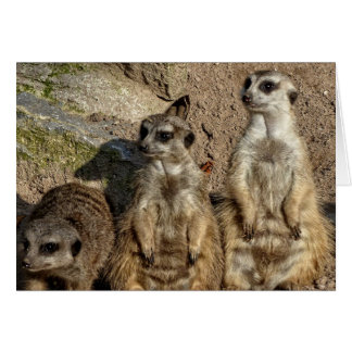Meerkats Carte