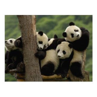 Melanoleuca d'Ailuropoda de bébés de panda géant) Carte Postale