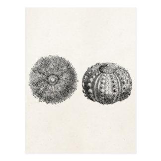 Modèle épineux vintage d'antiquité d'oursin cartes postales