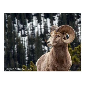 Mouflons d'Amérique - parc national de jaspe Carte Postale