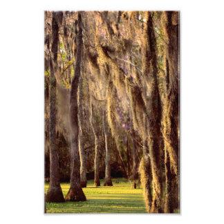 Mousse espagnole sur des arbres de Cypress Impression Photo