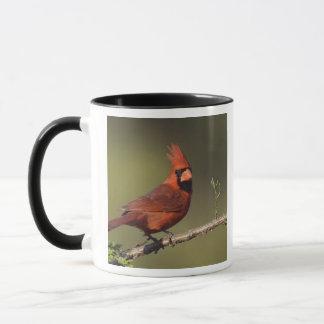 Mug Cardinal du nord, cardinalis de Cardinalis, mâle 3