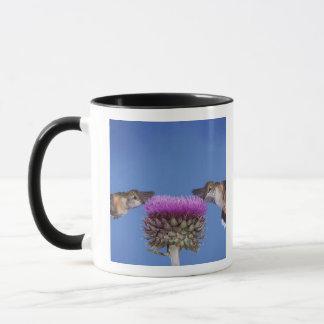 Mug colibri Large-coupé la queue, Selasphorus