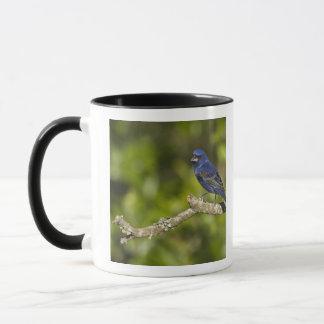 Mug Gros-bec bleu, caeulea de Passerina, courbure