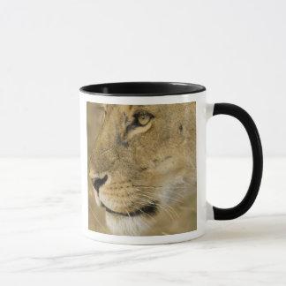Mug Lion africain, Panthera Lion, fin vers le haut de