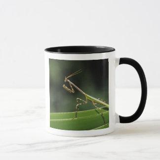 Mug Mantid, Mantidae, adulte sur la fronde de paume,