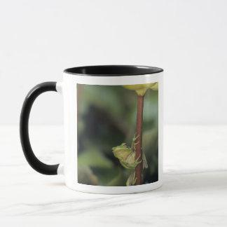 Mug Treefrog vert, Hyla cinerea, adulte sur le jaune