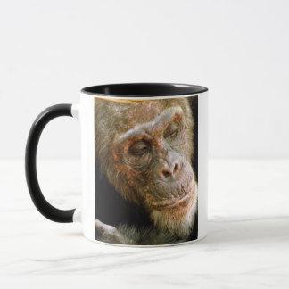 Mug Vieux chimpanzé masculin sauvage (troglodytes de