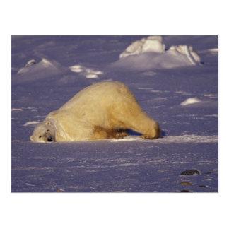Na, Canada, Manitoba, Churchill, ours blanc Cartes Postales