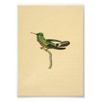 Noir 1830 de vert d'impression de colibri de cru photographie d'art
