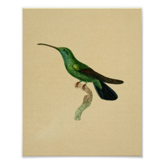 Noir 1830 de vert d'impression de colibri de cru poster
